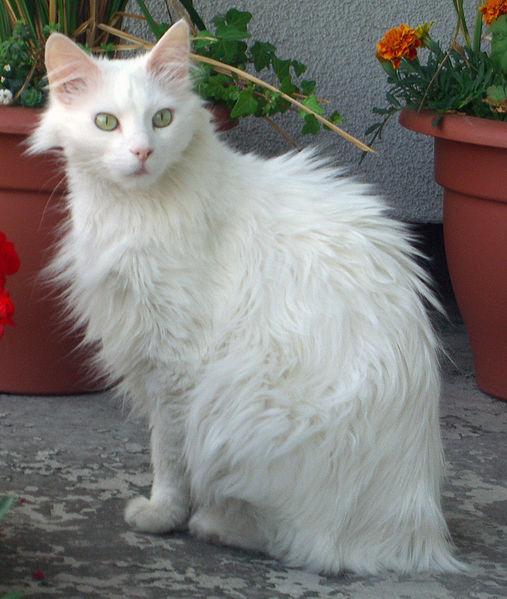 Кошка турецкая ангора фото 1